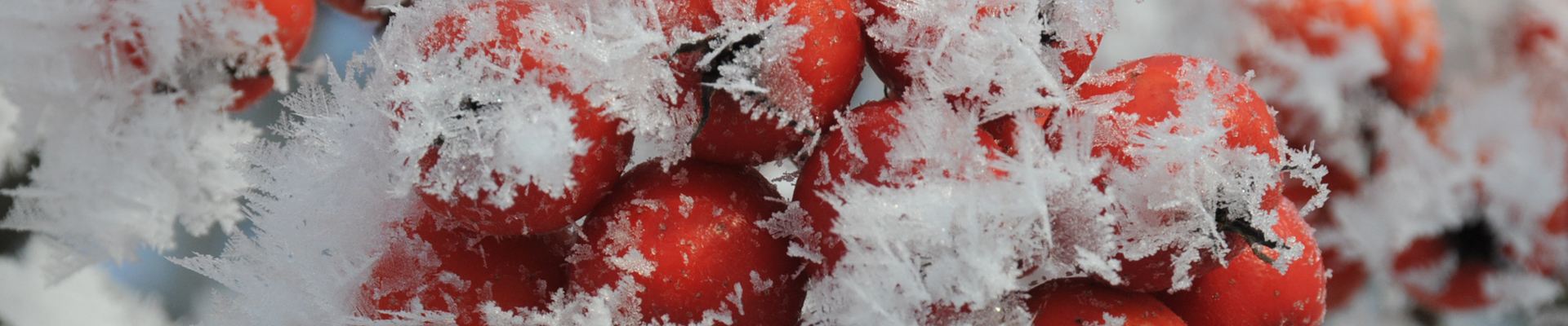 Michael Geyer – Header Winterbeeren